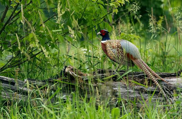 Ring-Necked Pheasant #3 (Phasianus colchicus)
