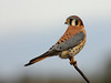 American Kestrel - A small falcon that inhabits much of the N. American continent.