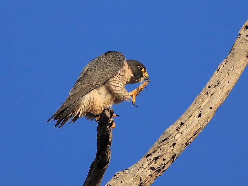 Kung Fu Peregrine Falcon