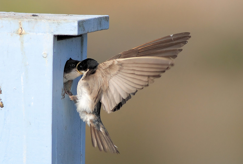 Swallow Feeding Baby