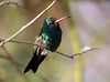 Broadbilled Humming Bird