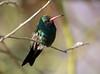 Broadbilled Humming Bird