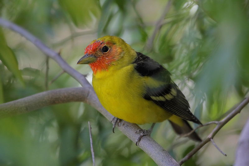 Wstern Tanager