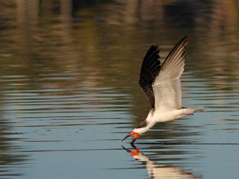 A Skimmer skimming, hence the name, Skimmer :)