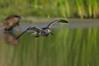 Lesser Yellow Legs in Flight