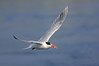 Tern With Fish
