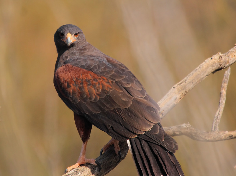 A Harris Hawk