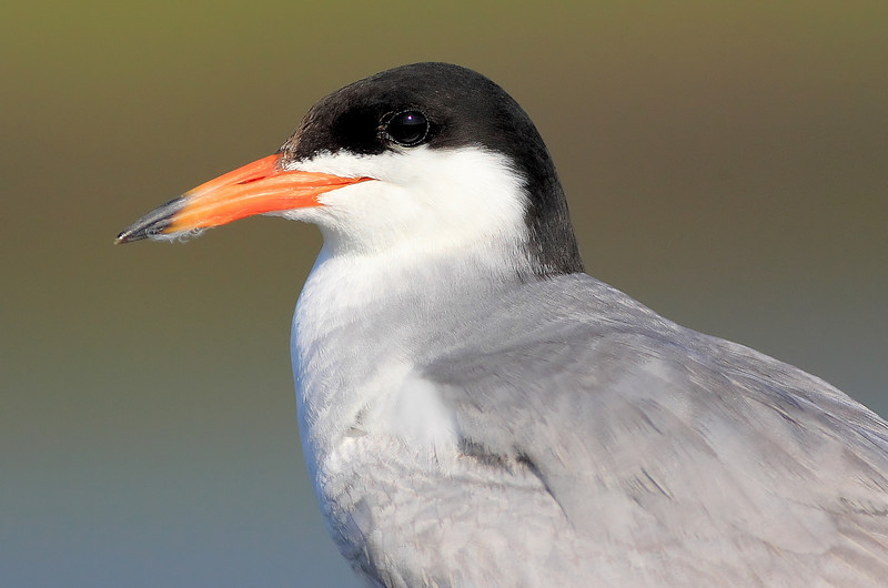 Elegant Tern Portrait