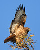 A Red Tailed Hawk doing its best to try to balance on the top of a small tree. It wasn't succeding too well and flew off a short time later.