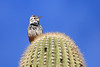 Gilla Woodpecker