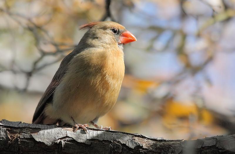 Cardinal like Bird