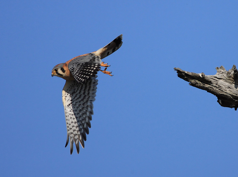 Diving Female American Kestrel.