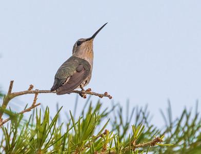Costa's Hummingbird Hummingbird