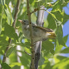 Baby Yellow Warbler (?)