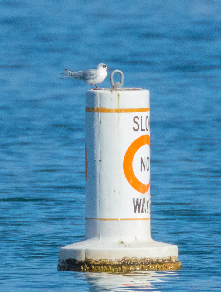 Forster's Tern
