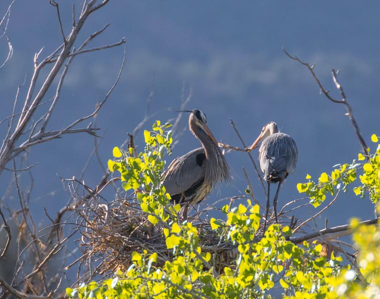 Blue Herons Nesting
