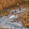 Great Egret and Mallards