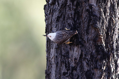 Varied Sittella - White-headed Sub-species