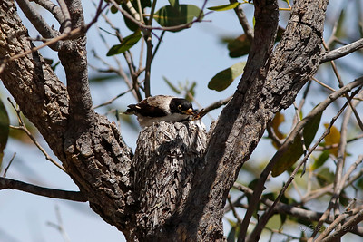 Varied Sittella - Black-capped Subspecies