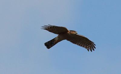 Varpushaukat (Sparrowhawks)
