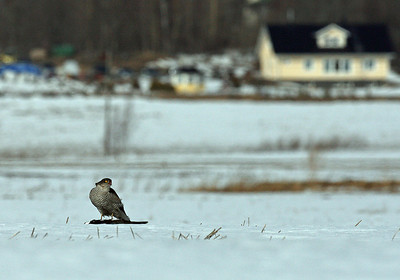 9.4.2012 Vantaa, Finland  Lapwing as a catch