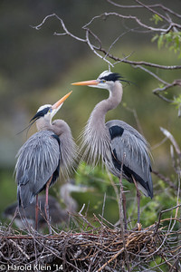 The courting displays occurred with every arrival of even the smallest stick…Yup..I see all the clutter…promise, I will get to it...
