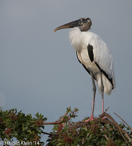 A Wood Stork stopped by for about 15 min then moved on…prehistoric looking to me!!