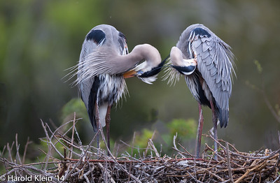The Great Blue Herons were worth the drive...