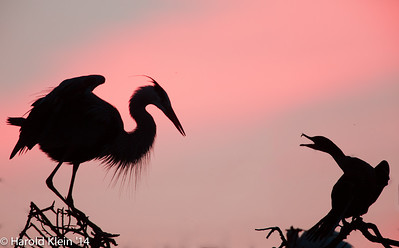 Classic after sunset light and action at the top of the rookery…these two did NOT get along...