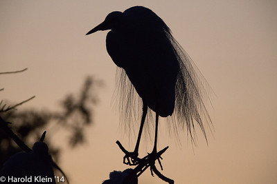 An Egret at silhouette…I will remove all the distracting clutter in a bit...
