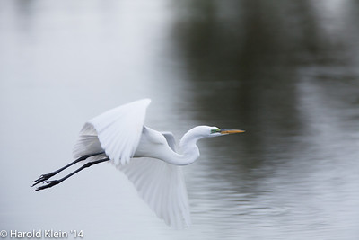 Egrets were also nesting right along with and next to the Herons...