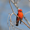 Vermilion Flycatcher at Covington Park,Big Morongo,CA.