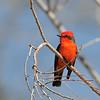 Vermilion Flycatcher at Covington Park,Big Morongo,CA.
