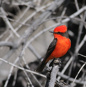 Vermilion Flycatcher and Flycatchers