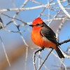 Vermilion Flycatcher at Covington Park, Big Morongo,CA.
