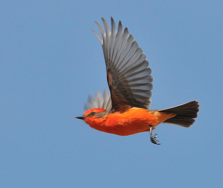 Vermilion Flycatcher in flight at Cocington Park,Morongo valley,CA.