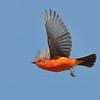 Vermilion Flycatcher in flight at Cocington Park,Morongo valley,CA.
