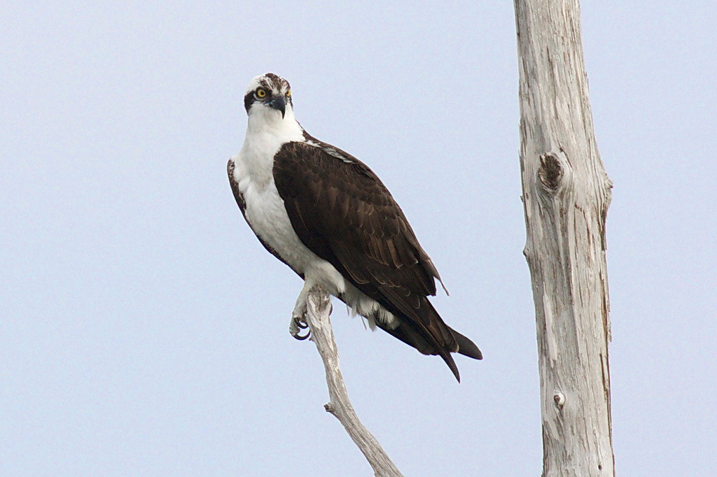 3949 An osprey with piercing eyes, a piercing beak, and piercing claws sits on the branch of a tree, looking for a fish to pierce.