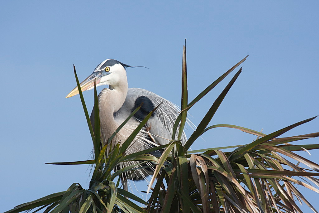 4024 Another photo of another great blue heron in another palm tree. I include it because Jodi liked the photo and I don't want her to leave me.