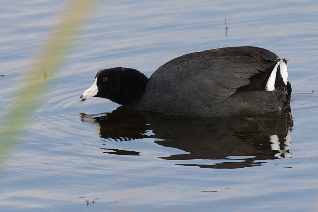 "3953 An adult American coot swims about. ""The Sibley Guide to Birds"" says they (the sexes are alike) have ""small white marks"" on their tail feathers. This bird has large blazes of white feathers on its tail, leading me to believe that it is displaying breeding plumage. But I'm no bird expert, just a bird guesser."