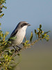 A loggerhead Shrike perched on a branch that is not a longleaf pine.