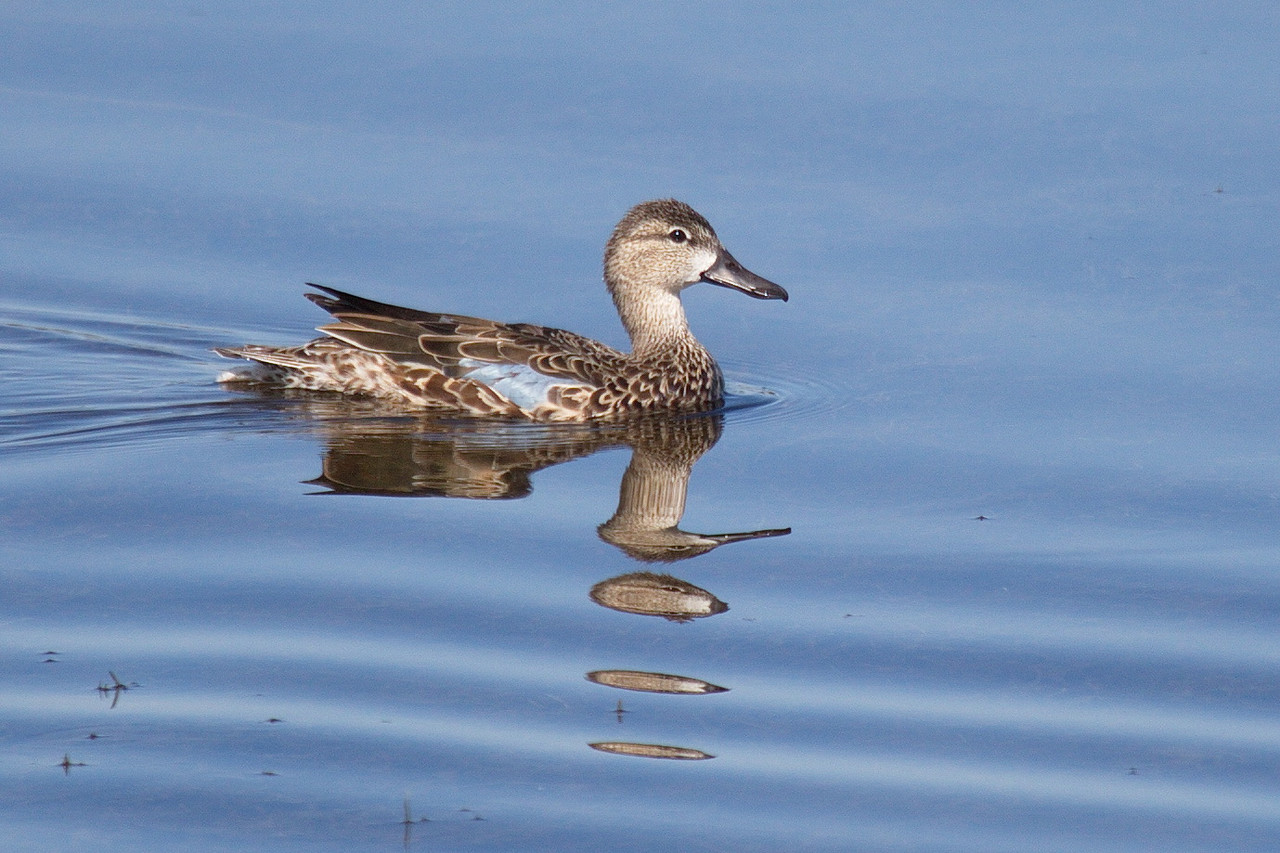 A female blue-winged teal paddling along in the other direction.