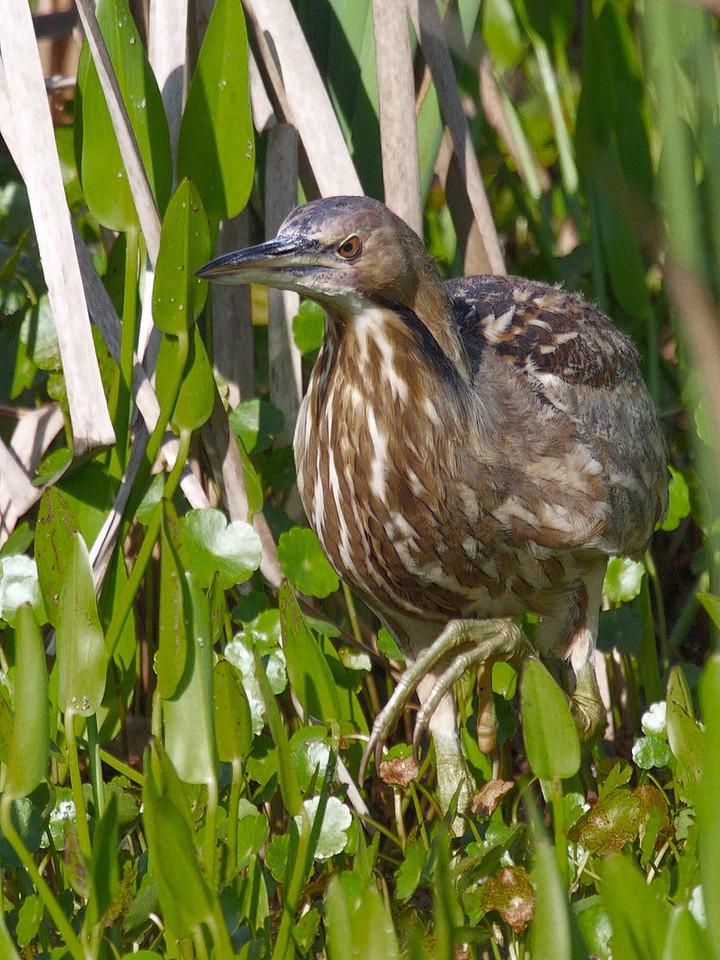 An American Bittern skulking among the reeds.