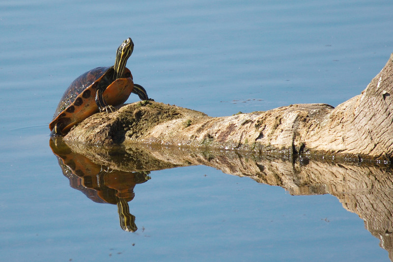 A red-bellied turtle and its reflection sunning themselves on a fallen palm tree.