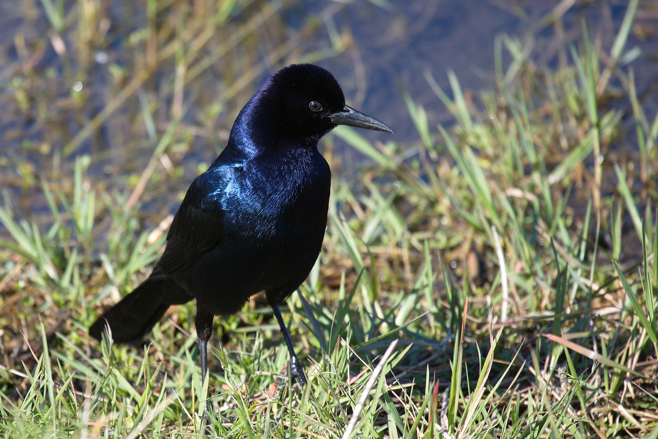 The grackle is a noble bird, or so said John Gambling of WOR radio in New York City some fifty-five years or so ago. This is a boat-tailed grackle. I love their sheen.