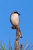 RCS57065 Loggerhead Shrike perched on a longleaf pine.
