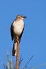 RCS57068 Northern Mockingbird perched on a longleaf pine.
