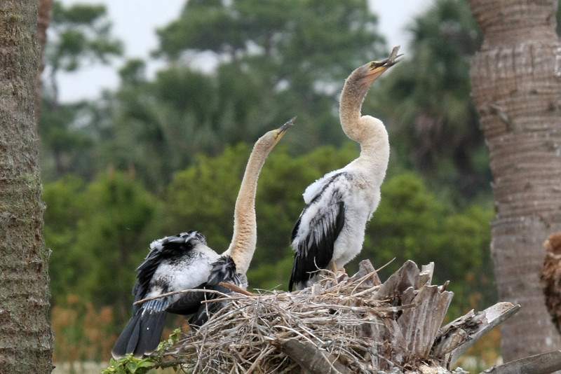Two Anhinga chicks. They were born a light creamy color and are slowly changing to the black of adults. Their light necks may indicate that these are both females, but that's just a guess.