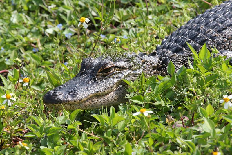 Flower-child Alligator.