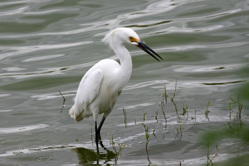 Snowy Egret in breeding plumage with catch.